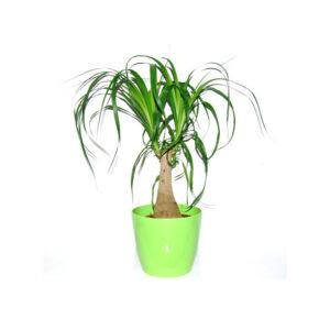 Planta Beacarnea