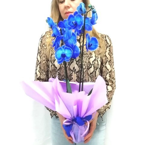Phalaenopsis Azul